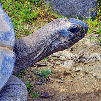 Portrait of Giant turtle - image #334723 gratis