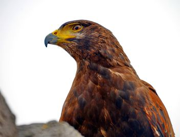 Brown hawk - image #334813 gratis