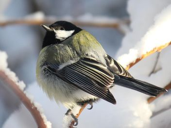 Titmouse sits having ruffled up on a branch of a tree - image gratuit #335013
