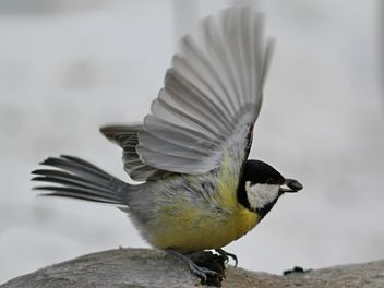 Titmouse with spread wings - image gratuit #335023