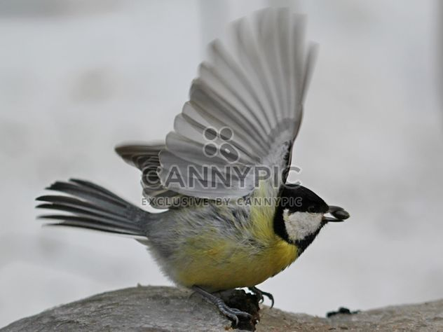Titmouse with spread wings - бесплатный image #335023