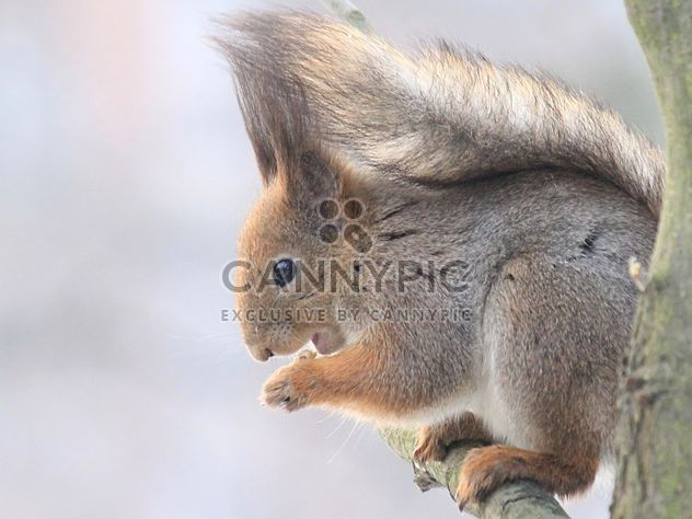 Squirrel eating nut - Free image #335043