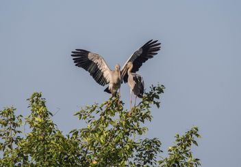 Couple of storks on tree - бесплатный image #337473
