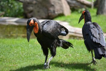 Ground hornbill birds walking on grass - Free image #337503