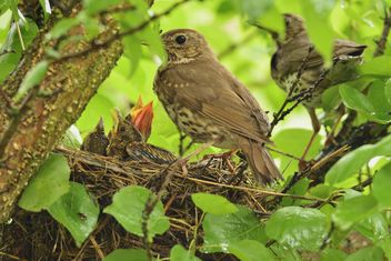 Thrushes and nestlings in nest - image gratuit #337573