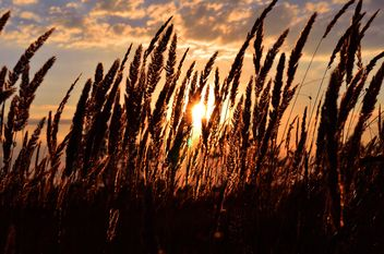 Field of spikelets at sunset - бесплатный image #338303