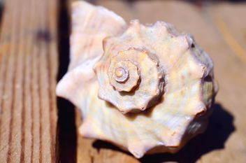 Closeup of rapan seashell - бесплатный image #338323