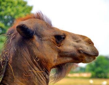 Closeup portrait of camel - бесплатный image #341293