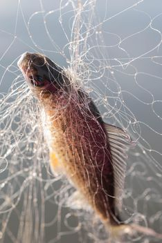 A fish in net - image gratuit #343583