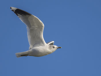 Common Gull - image gratuit #344253