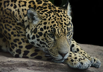 Jaguar Close up - Kostenloses image #344373