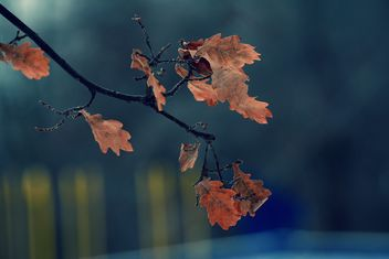 Closeup of oak branch with autumn leaves - image gratuit #345073