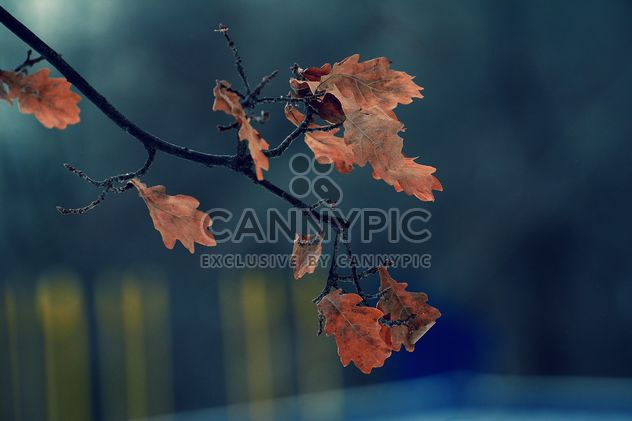 Closeup of oak branch with autumn leaves - Free image #345073