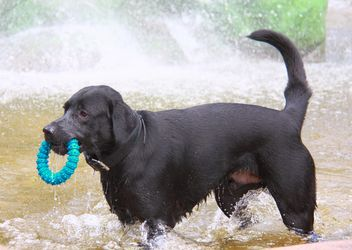 Black dog with toy ring in fountain - image #346193 gratis