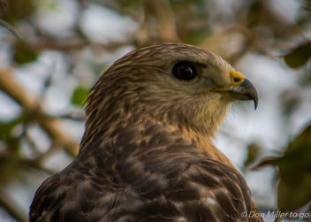 Brown-sholdered Hawk - image gratuit #346883