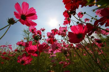 Pink cosmos flowers at sunset - бесплатный image #347733