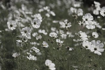Field of beautiful cosmos flowers, black and white - Free image #347793
