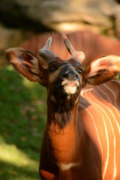 Portrait of bongo antelope at zoo - бесплатный image #348383