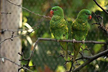 Pair of green lorikeet parrots on branch - Free image #348443