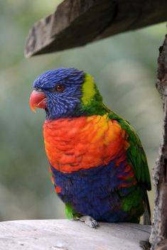 Tropical rainbow lorikeet parrot - бесплатный image #348483