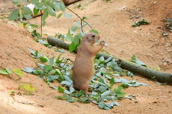Prairie dog standing on green leaves - image #348623 gratis