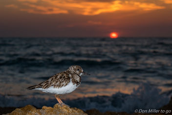 Sandpiper at Sunset - image gratuit #356453