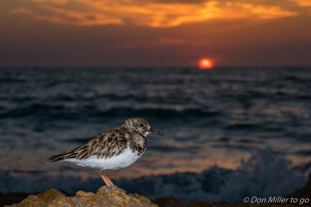 Sandpiper at Sunset - image #356453 gratis