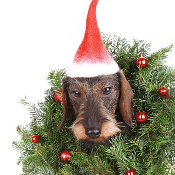 Dachshund with New Year decorations - Kostenloses image #359183
