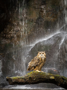 Eagle Owl under the waterfall. - Free image #361703