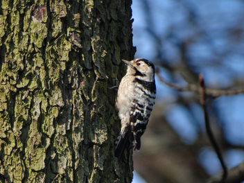 Lesser spotted woodpecker // Dryobates minor - бесплатный image #362303