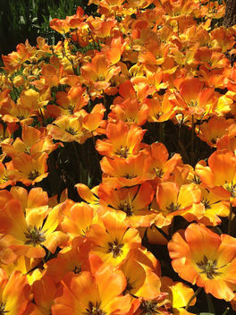 Turkey (Istanbul) Orange-coloured Tulips in Emirgan Garden - Free image #363493