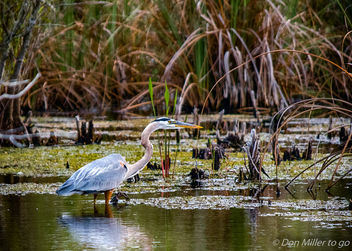 Great Blue Heron - image #365543 gratis