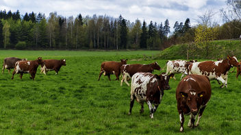 Happy Cows - Free image #365993