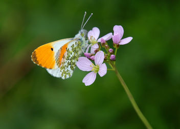Orange tip butterfly - Anthocharis cardamines (m) - image gratuit #367363