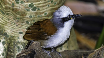 Laughing Thrush - image #368063 gratis