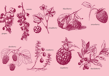 Old Style Drawing Berries - vector gratuit #368263