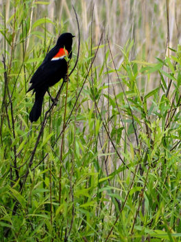 Red Winged Blackbird - бесплатный image #370643