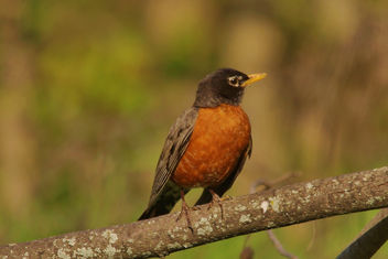 Pretty Little Robin - image gratuit #371303