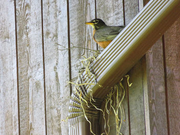 The robins just keep building more nests - бесплатный image #372043