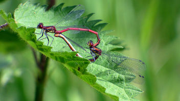 Large red damselflies. - image gratuit #372723