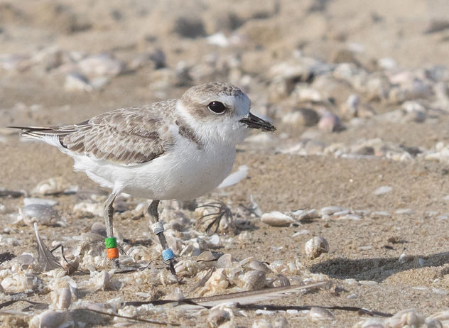 Banded Western Snowy Plover - Kostenloses image #375013