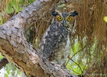 Great Horned Owl - image #379853 gratis
