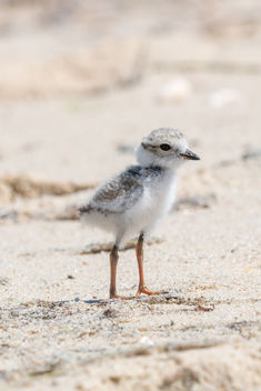 Piping Plover Chick [202/366] - image gratuit #381133