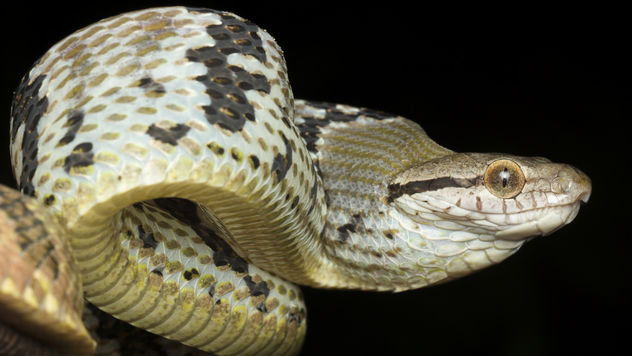 Dog Toothed Cat Snake (Boiga cynodon) - Kostenloses image #381253