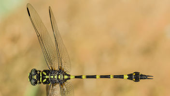 Ictinogomphus decoratus (Common Flangetail) male - image #383103 gratis