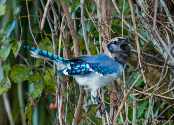 Blue Jay (molting) - Free image #386993