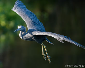Little Blue Heron - image #388583 gratis