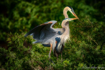 Great Blue Heron Couple - image gratuit #400113