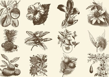 Sepia Fruit And Flower Illustration - Free vector #403223