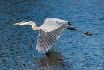 Great Blue Heron - image #403423 gratis